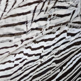 Silver Pheasant feathers Royalty Free Stock Photos