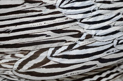 Silver Pheasant feathers. Background in male profile Stock Images