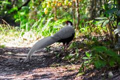 Silver pheasant or Lophura nycthemera male. Was walking in the forest Stock Photos
