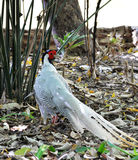 Silver pheasant Royalty Free Stock Image