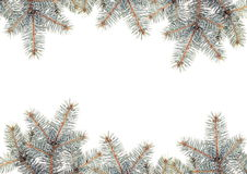 Silver Pine branches Stock Photography