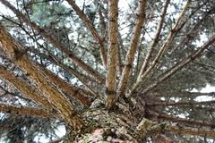 Free Silver Pine Branches Royalty Free Stock Photos - 79640118
