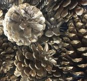 Silver pine cones. An up close look at silver pine cones royalty free stock images