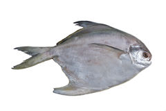 Silver pomfret Royalty Free Stock Photo
