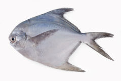 SILVER POMFRET Stock Photo