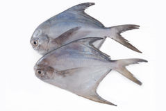 Silver Pomfret Stock Photography