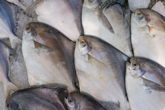Silver pomfret Royalty Free Stock Images