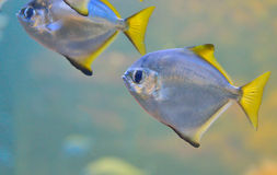 Silver Pomfret Royalty Free Stock Photography