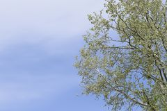 Silver poplar against the sky. Recently bloomed buds and young l Royalty Free Stock Photography