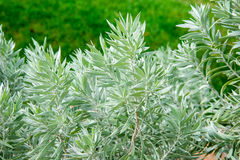Silver Poverty Bush in Kings Park and Botanical Gardens Stock Images