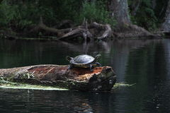 Silver River Florida Turtle Stock Photography