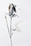 Silver rose. A single silver rose on a white background Royalty Free Stock Image