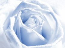 Silver rose bud royalty free stock image