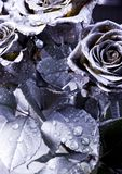 Silver roses. Rose (Rosa), a kind of flower which belongs to the rose-like family, includes over 200 species (according to some researchers up to a few thousands stock photo