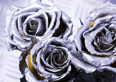 Silver roses. Rose (Rosa), a kind of flower which belongs to the rose-like family, includes over 200 species (according to some researchers up to a few thousands stock image