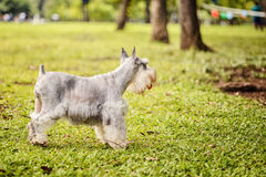 Silver Schnauzer Stock Photos