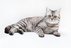 Silver scottish cat Stock Images