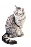 Scottish strite young cat Royalty Free Stock Image