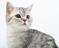Silver Scottish kitten playing Royalty Free Stock Image