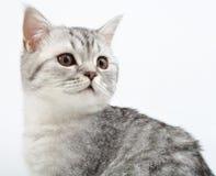 Silver Scottish kitten playing Royalty Free Stock Image