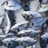Silver sea bream fish. Natural background Stock Photography