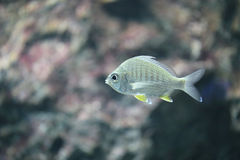 The Silver sea fish. The Silver sea fish in the aquarium Royalty Free Stock Photography