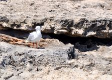 Silver Sea Gull: Limestone Rock stock photos
