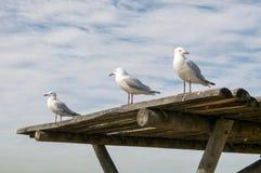 Silver Sea Gulls Stock Image