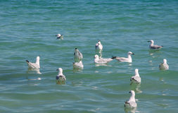 Silver Sea Gulls Swimming. Flock of silver sea gulls swimming in the turquoise Indian Ocean waters of Western Australia Royalty Free Stock Photo