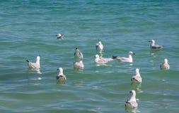 Silver Sea Gulls Swimming Royalty Free Stock Photo