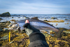 Silver sea trout in angler's hand. Sea fishing scenery with trophy fish Royalty Free Stock Image