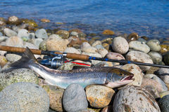 Silver sea trout fishing trophy. Silver sea trout trophy on the stony coast stock images