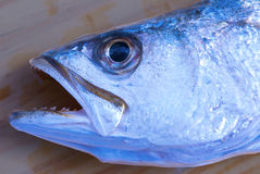 Silver sea trout head closeup. Showing blue hues Stock Photography