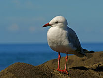 Silver Seagull. Silver Gull(Larus novaehollandiae) on rocks beside the beach of southern Queensland Royalty Free Stock Images