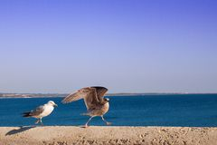 Silver Seagull Larus argentatus with chick royalty free stock photos