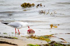 Free Silver Seagulls Eating Some Dead Life From The Ocean On The Dirty Beach. Stock Images - 122682454