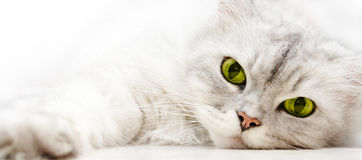 Silver Shaded Persian. Cat relaxing stock image