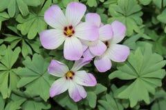 Silver Shamrock flowers - Oxalis Adenophylla Royalty Free Stock Photos