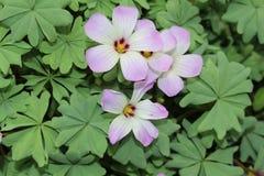 Silver Shamrock flowers - Oxalis Adenophylla Stock Image