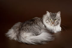 Silver siberi cat. On dark brown background Stock Image