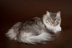 Silver siberi cat Stock Image