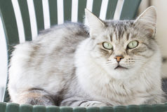 Silver siberian cat in the garden Royalty Free Stock Photography