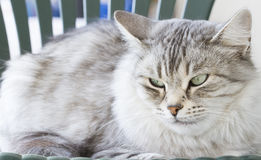 Silver siberian cat in the garden Royalty Free Stock Images