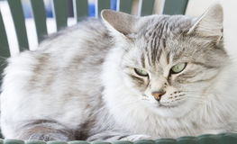 Silver siberian cat in the garden Stock Images