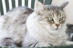 Silver siberian cat in the garden Royalty Free Stock Image