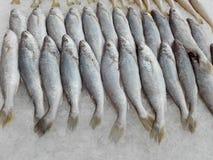 Silver Sillago fishes Stock Photos