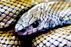 Silver snake closeup Royalty Free Stock Photo