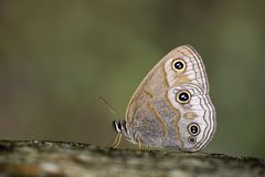 Silver Snake Head Butterfly Royalty Free Stock Photography