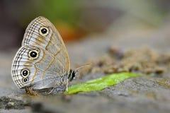 Silver Snake Head Butterfly Stock Photo