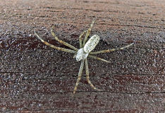 Silver spider. Macro close-up of a silver spider walking along a wooden plank july 2017 Stock Image
